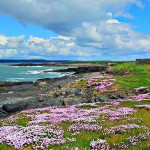 Sea Pinks at Hook Head