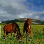 Knocknarea Mountain and Horses