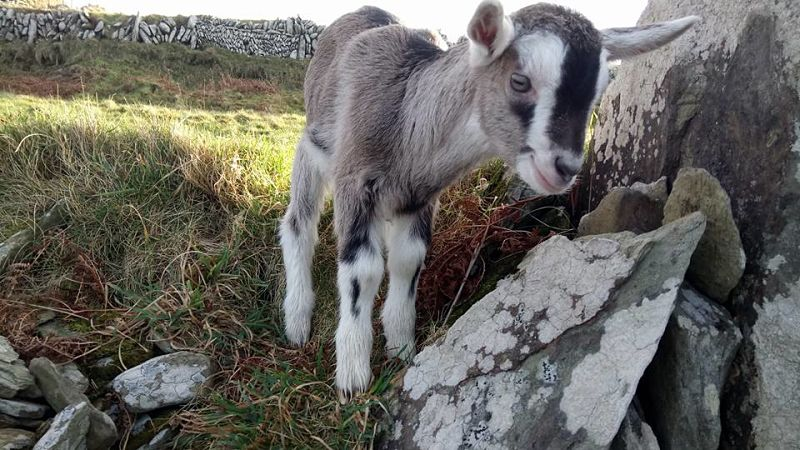 Cape Clear goats family travel activities