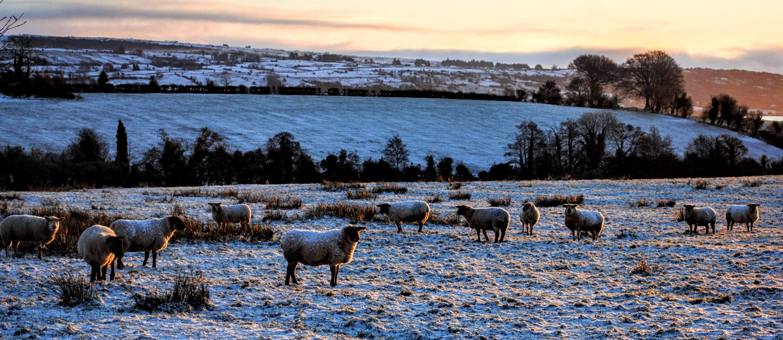 Sheep Ireland